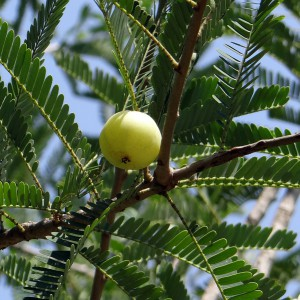 indian-gooseberry-337443_1280