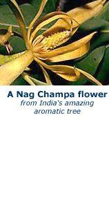Gul Nag Champa