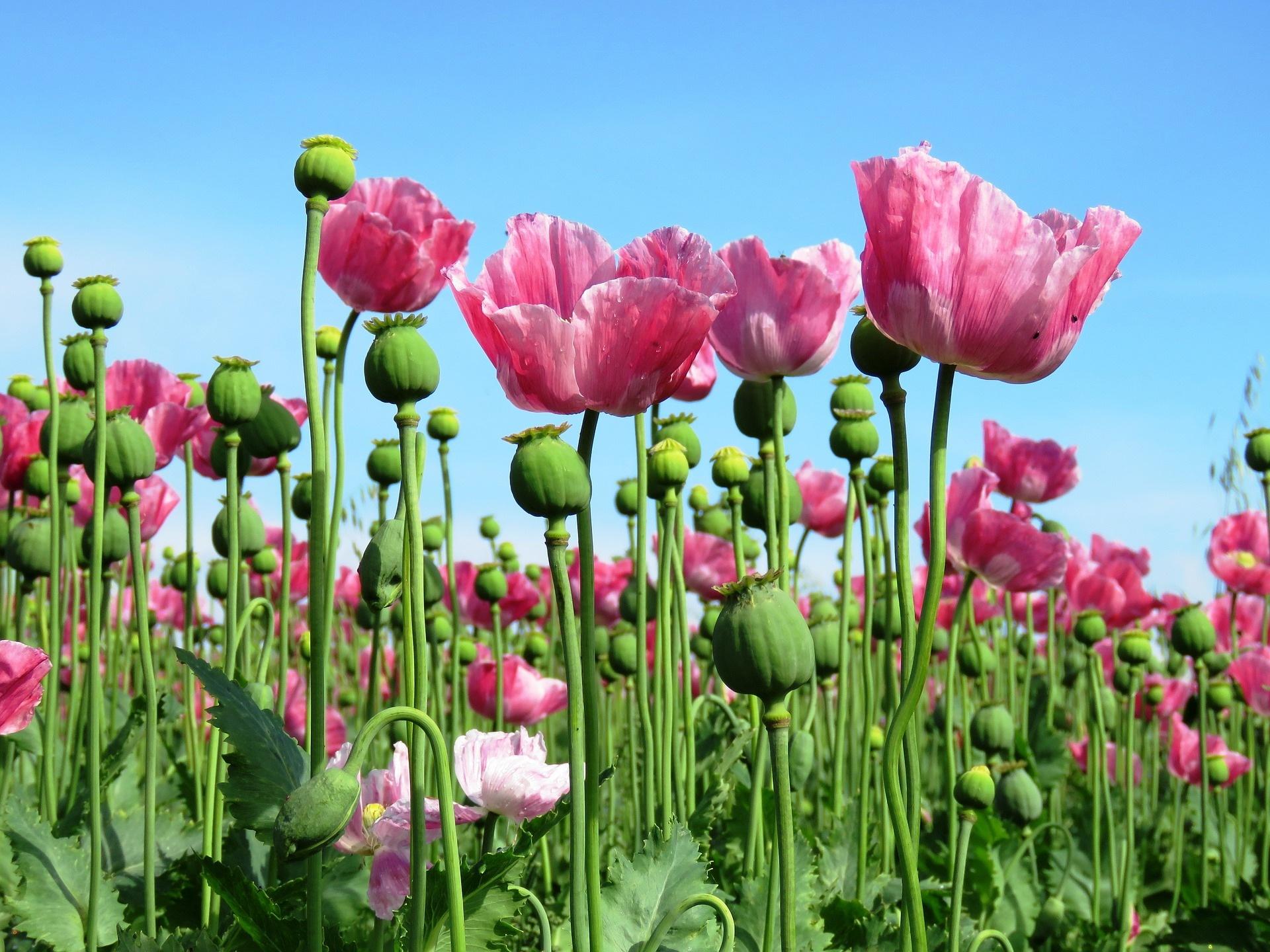 rökelse absolut opium